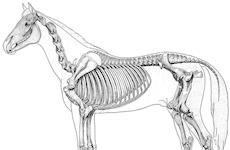Como avaliar o potencial atlético de um cavalo