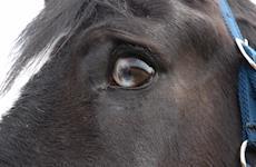 Como os cavalos nos veem