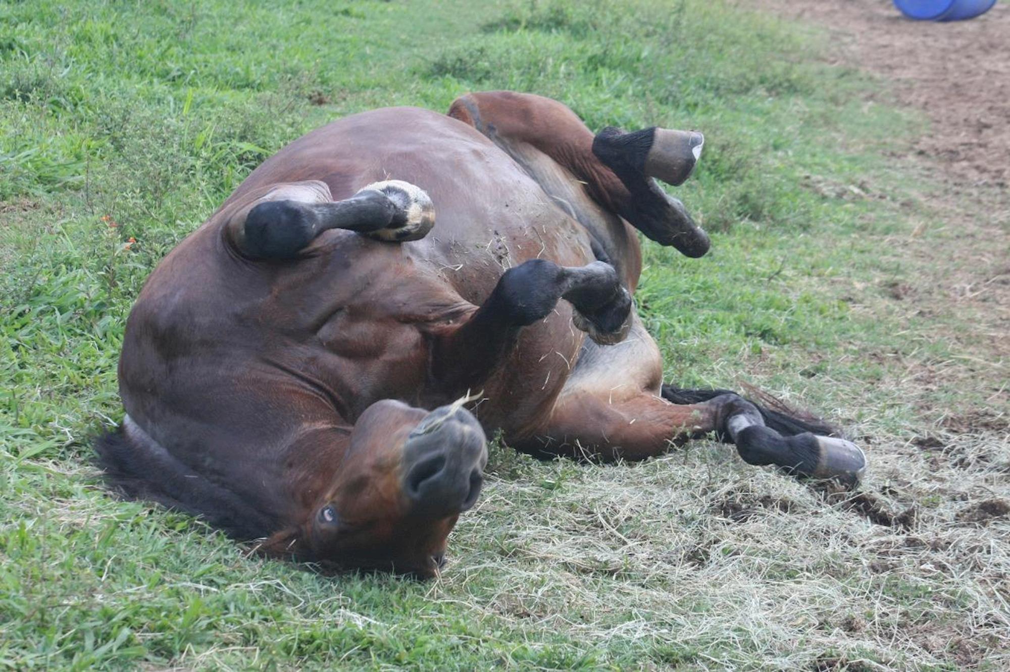 veterinária, cólica, equinos, cavalos,