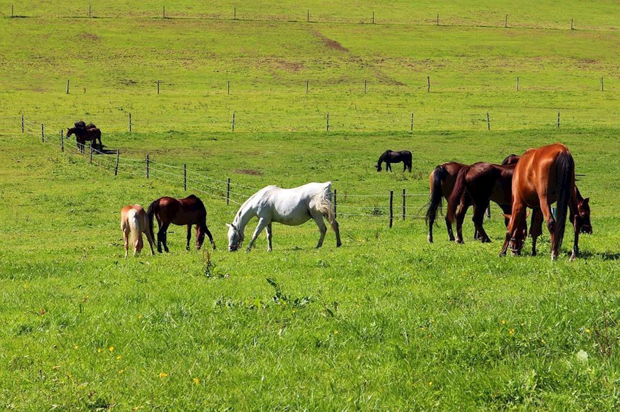 nutrição, pasto, pastagem, alimentação, equinos, cavalos,