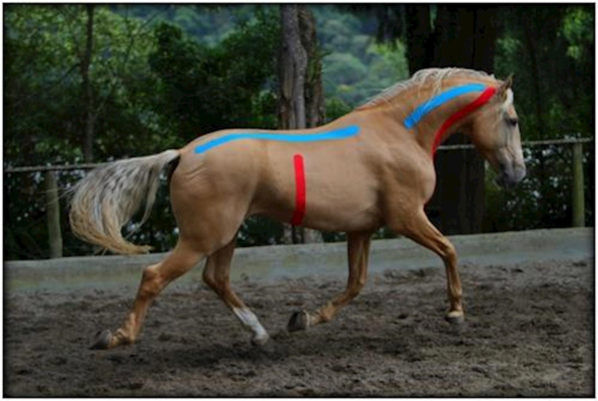 veterinária, kinesio, taping, relaxamento, cavalo, equino, Davi Carrano