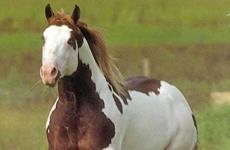 Paint Horse no Brasil