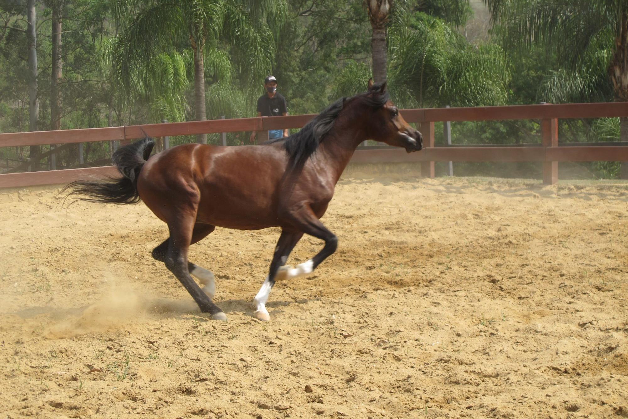 Leilão Cruzeiro oferece cavalos árabes de Esporte e Trabalho
